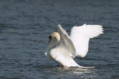 Лебедь в движении стоковые фото