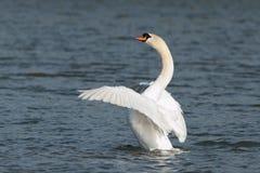 Лебедь в движении Стоковое Изображение RF