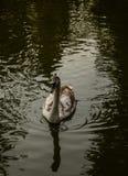 Лебедь в воде Стоковое Изображение