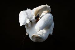 Лебедь в воде Стоковое Изображение RF