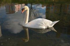 Лебедь в воде Стоковое Фото