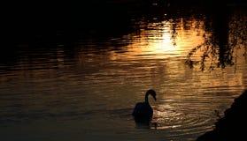 Лебедь в заходе солнца Стоковое Изображение RF