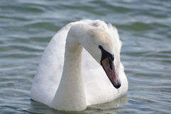 Лебедь в море Стоковое Изображение RF
