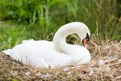 Лебедь в логове Стоковое Изображение RF