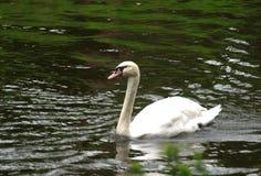 Лебедь в озере Стоковая Фотография