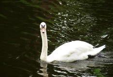 Лебедь в озере Стоковое фото RF