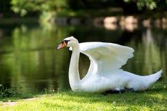 Лебедь в одичалом Стоковое Фото