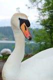 Лебедь в одичалом Стоковое Изображение