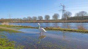 Лебедь вдоль берега канала Стоковое Изображение RF