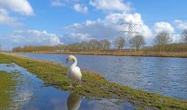 Лебедь вдоль берега канала Стоковая Фотография RF