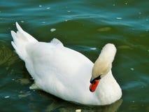 Лебедь в парке Tabacariei, Constanta, Румыния, временя Стоковое Изображение RF