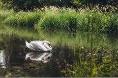 Лебедь в природе Стоковые Изображения