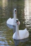 Лебедь в природе Стоковые Изображения RF