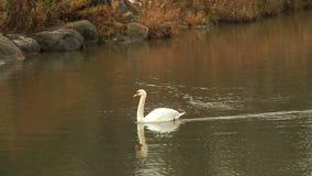 Лебедь в пруде Ландшафт сток-видео