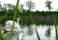 Лебедь в пруде, озерах Стоковые Изображения