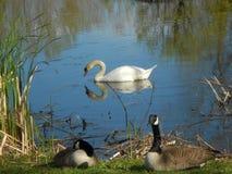 Лебедь в пруде Стоковое Изображение