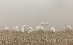 Лебедь в реке Дунае, туманном дне стоковое изображение