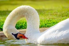 Лебедь в реке Стоковое Изображение