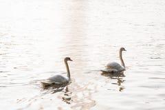 Лебедь в саде Стоковые Фото