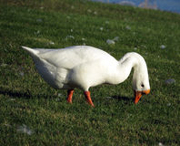 Лебедь в траве Стоковое фото RF