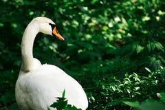 Лебедь в траве Стоковые Фото