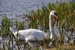 Лебедь в тростниках Стоковые Фотографии RF