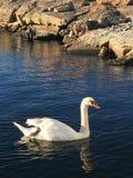 Лебедь в фьорде Норвегии Осло стоковое изображение rf