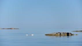 Лебедь в шведском архипелаге Стоковые Фото