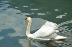 Лебедь в Eriste, июне стоковые изображения rf