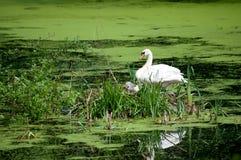 лебедь гнездя цыпленоков Стоковые Фото