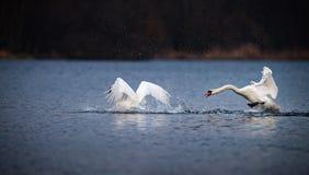 Лебедь гоня другой лебедя на открытом море Стоковая Фотография