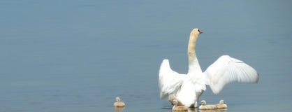 Лебедь готовый защищает свое отродье Стоковые Фото