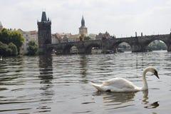 Лебедь Дунай Прага Стоковое Фото