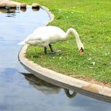 Лебедь есть траву Стоковое Изображение