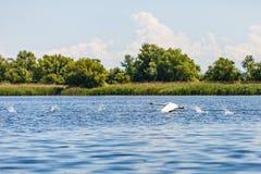 Лебедь летания в перепаде Дуная Стоковое Изображение