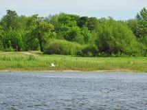 Лебедь летания и река, Литва Стоковые Фотографии RF