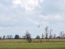 Лебедь летания, Литва Стоковые Изображения RF
