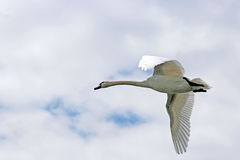 Лебедь летания, облачное небо Стоковое Фото