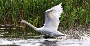 Лебедь летания Стоковая Фотография