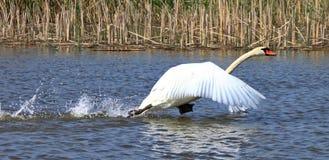 Лебедь летания Стоковое фото RF