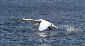 Лебедь летая над рекой Дунаем Стоковое Изображение