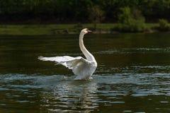 Лебедь летая над рекой Стоковая Фотография RF
