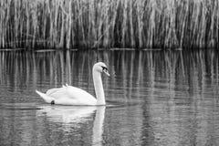Лебедь заплывания в черно-белом Стоковые Фото