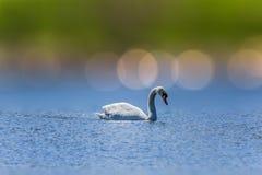 Лебедь заплывания Стоковые Фото