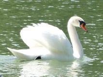 Лебедь заплывания стоковая фотография rf