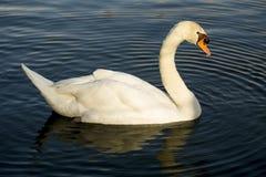 Лебедь заплывания Стоковые Фотографии RF