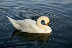 Лебедь заплывания Стоковое Фото