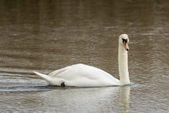 Лебедь заплывания Стоковые Изображения RF
