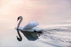 Лебедь захода солнца Стоковые Изображения