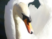 Лебедь ищет Стоковое Изображение